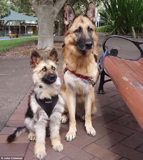 cão policial com nanismo