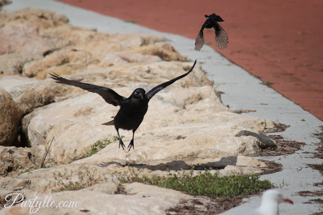 Raven being swooped by a willie wagtail