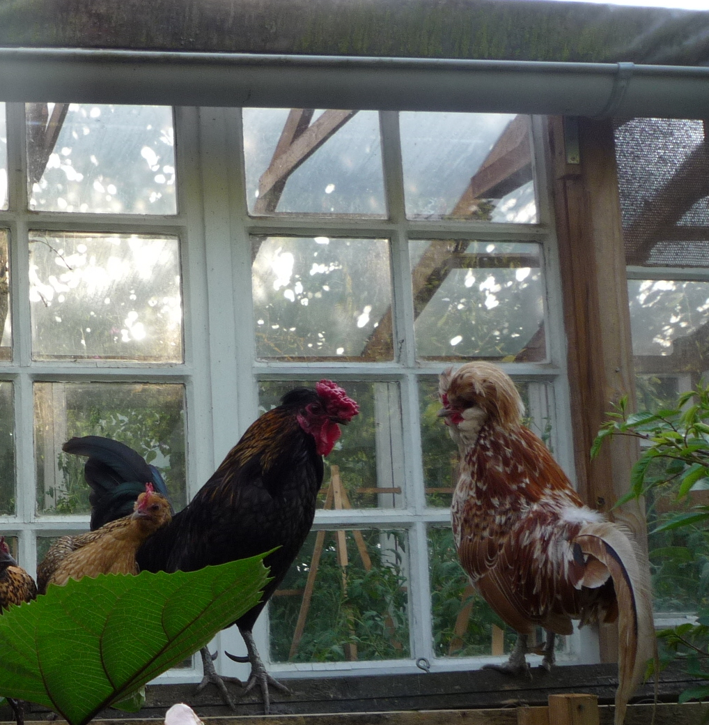 Old window glass greenhouse and chickens