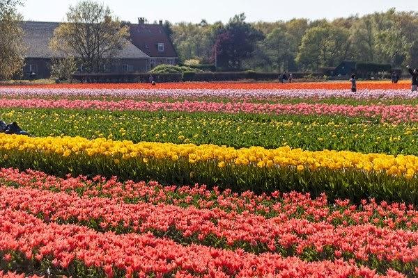 Taman bunga tulip di Lisse