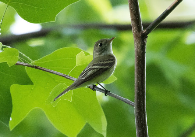Acadian Flycatcher - Nan Weston Preserve, Michigan, USA
