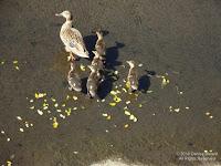 Hawaiian duck-mallard family, near Foster Community Garden, Oahu - © Denise Motard