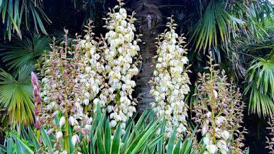 Yucca gloriosa 'Variegata' white flowers
