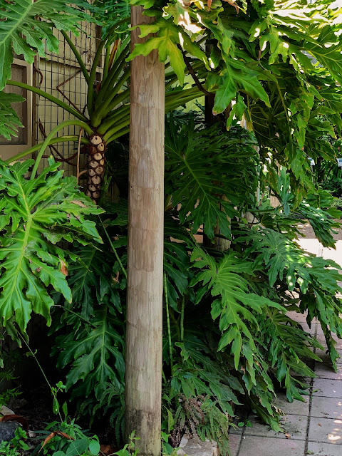 Giant Hope Philodendron at Barton Creek Nursery