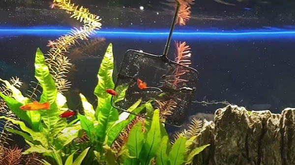 Molly, Platy and Swordtail