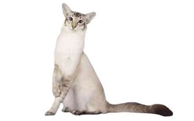 Ras Kucing Javanese