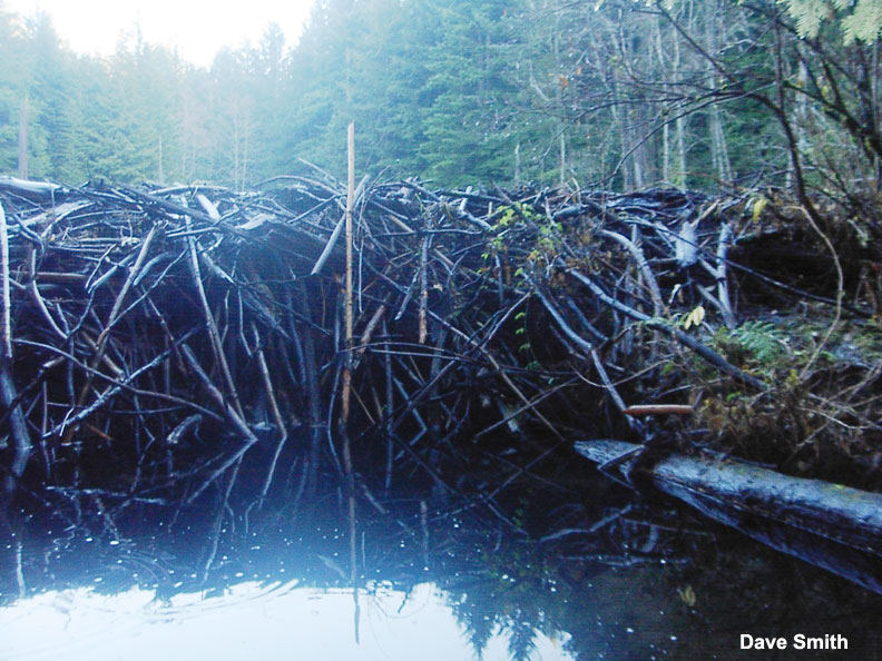 Inside a beavers dam - photo#53
