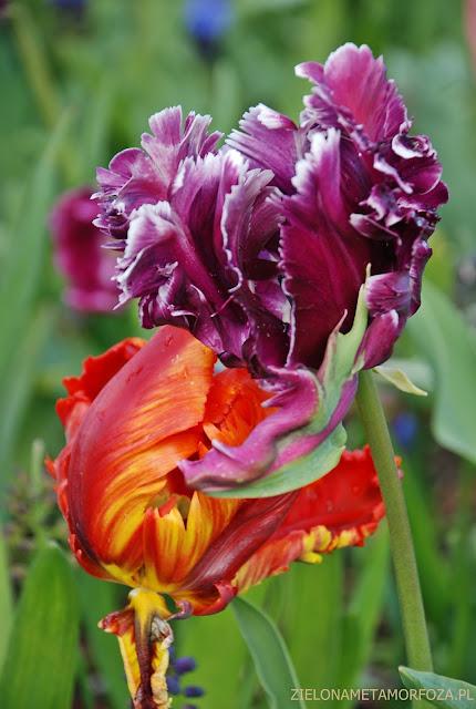 KEUKENHOF 2017, zielona metamorfoza.pl, tulipany odmiany