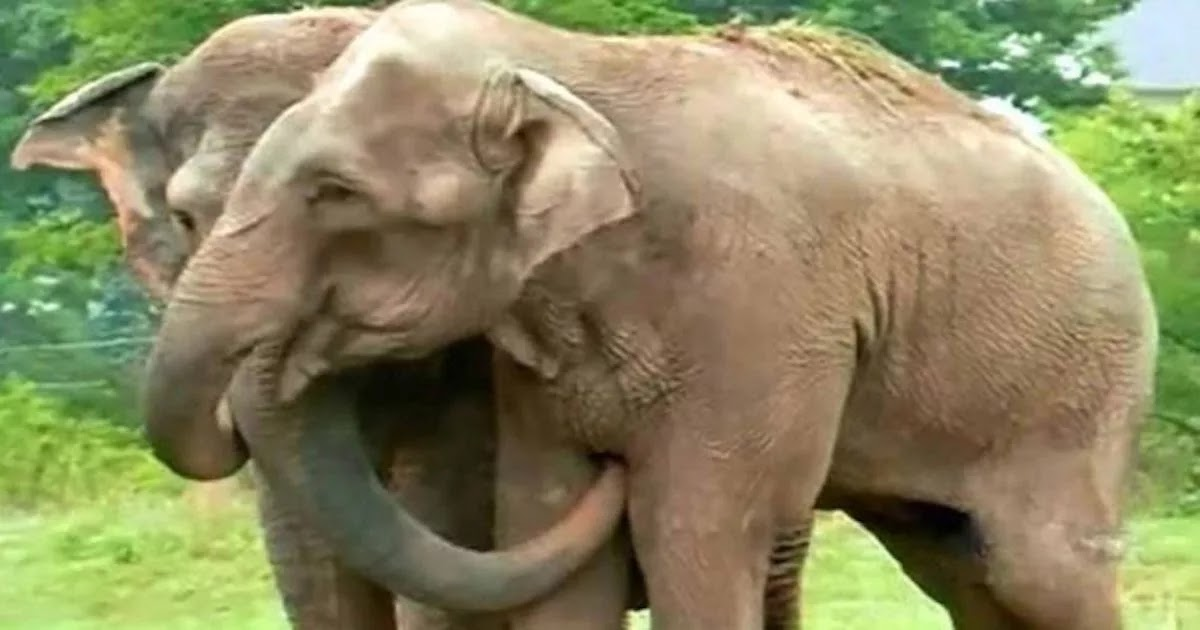 Video Shows Two Former Circus Elephants Reuniting After More Than 20 Years