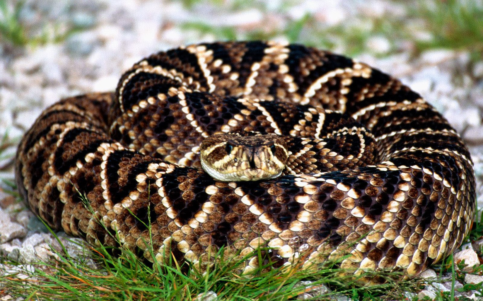 Wallpapers Rattlesnake Wallpapers