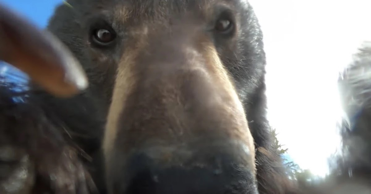 Astonishing Footage Of Black Bear Filming Himself With A Lost GoPro Camera Goes Viral