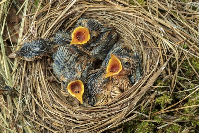 Ne vigyük haza a talált madárfiókákat!