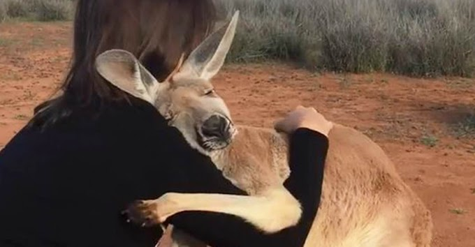 Un canguro abraza a sus salvadores en Australia