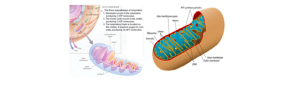 Biologi Seluler Fungsi Struktur Dan Siklus Hidup Mitokondria