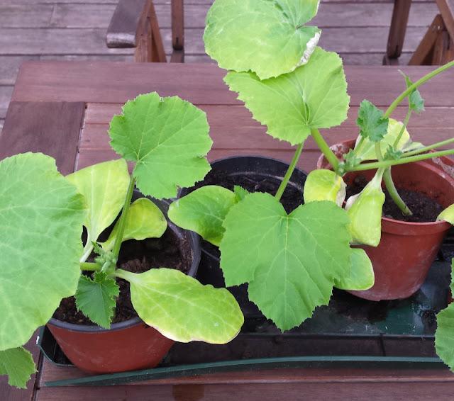 Unterwegs im Garten: Zucchini pflanzen. Ihr zieht die Zucchini in kleinen Töpfen heran, dabei können Kinder super mithelfen. Später pflanzt Ihr sie dann in Töpfe, Kübel oder den Garten.