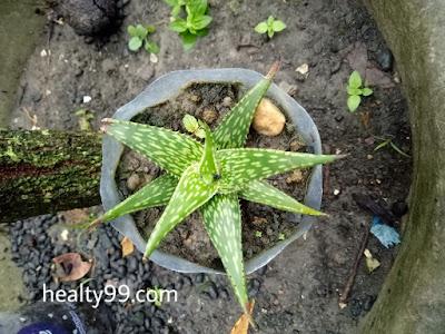 Haworthia aloe