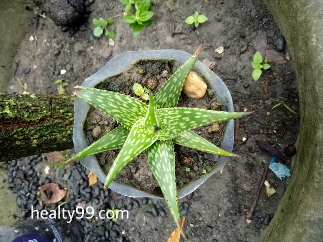 Haworthia aloe, cara memanan tanaman sukulen yang beli online