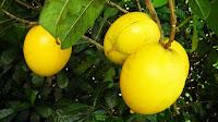 abiu fruit ripen on the tree