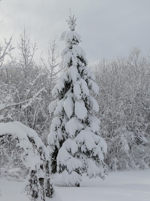 tall evergreen tree with snow