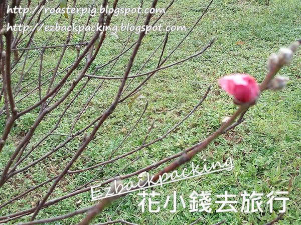 香港新年賞花2021: 青衣公園桃花林