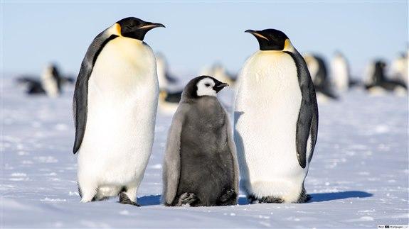 İmparator pengueni - İ Hayvan İsimleri