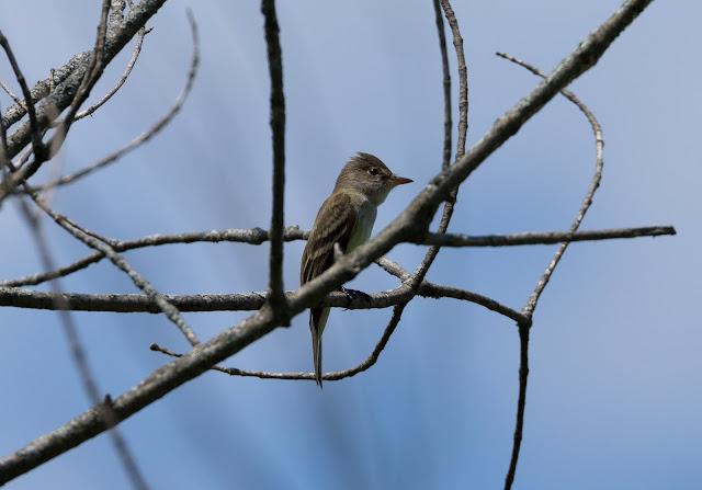 Willow Flycatcher - Oak Openings Preserve, Ohio, USA