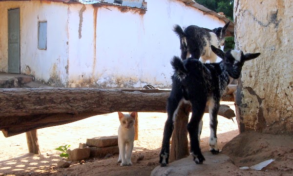 cats and goats