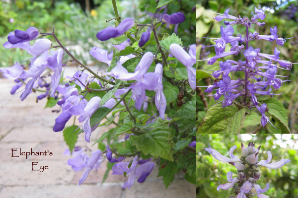 Plectranthus species