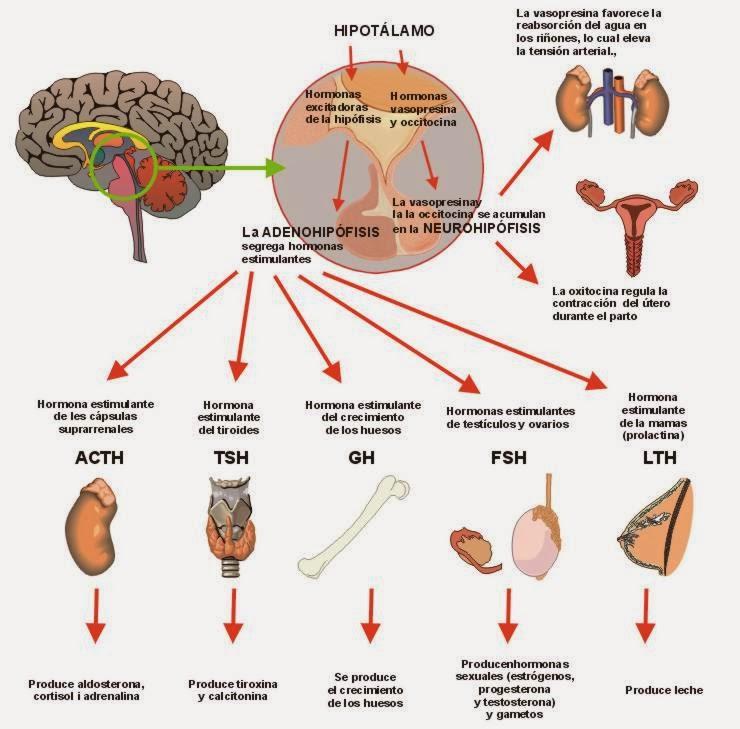 diabetes insípida adh crecimiento de hipersecreción