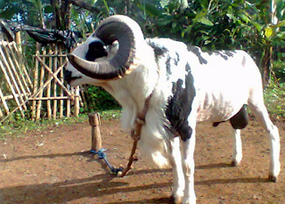 Ternak Domba Garut