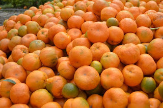 Orange - cash crop of darjeeling