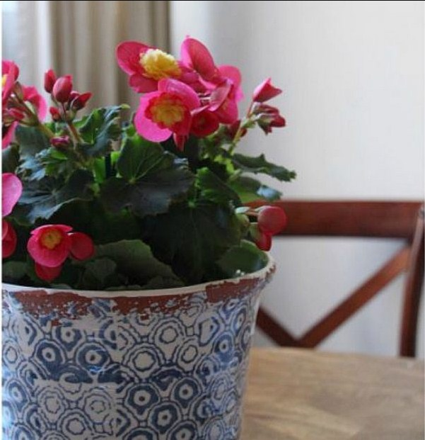 How to Care for a Begonia