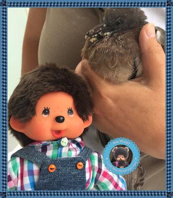 Bubbles le Moncchichi et Colombine le bébé pigeon - oisillon - pigeonneau