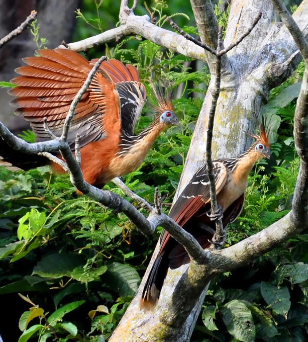 Picture of a pair of Hoatzin bird.