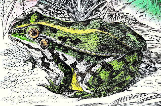 an old Peter Kolbe illustration of a green frog