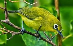 Inilah 7 Jenis-Jenis Burung Pleci Terbaik Se-Indonesia