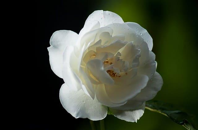 mawar wild rose yang mempesona