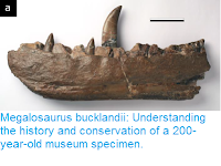 https://sciencythoughts.blogspot.com/2017/06/megalosaurus-bucklandii-understanding.html