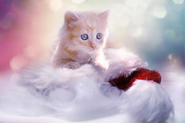 contoh descriptive text about animal kucing