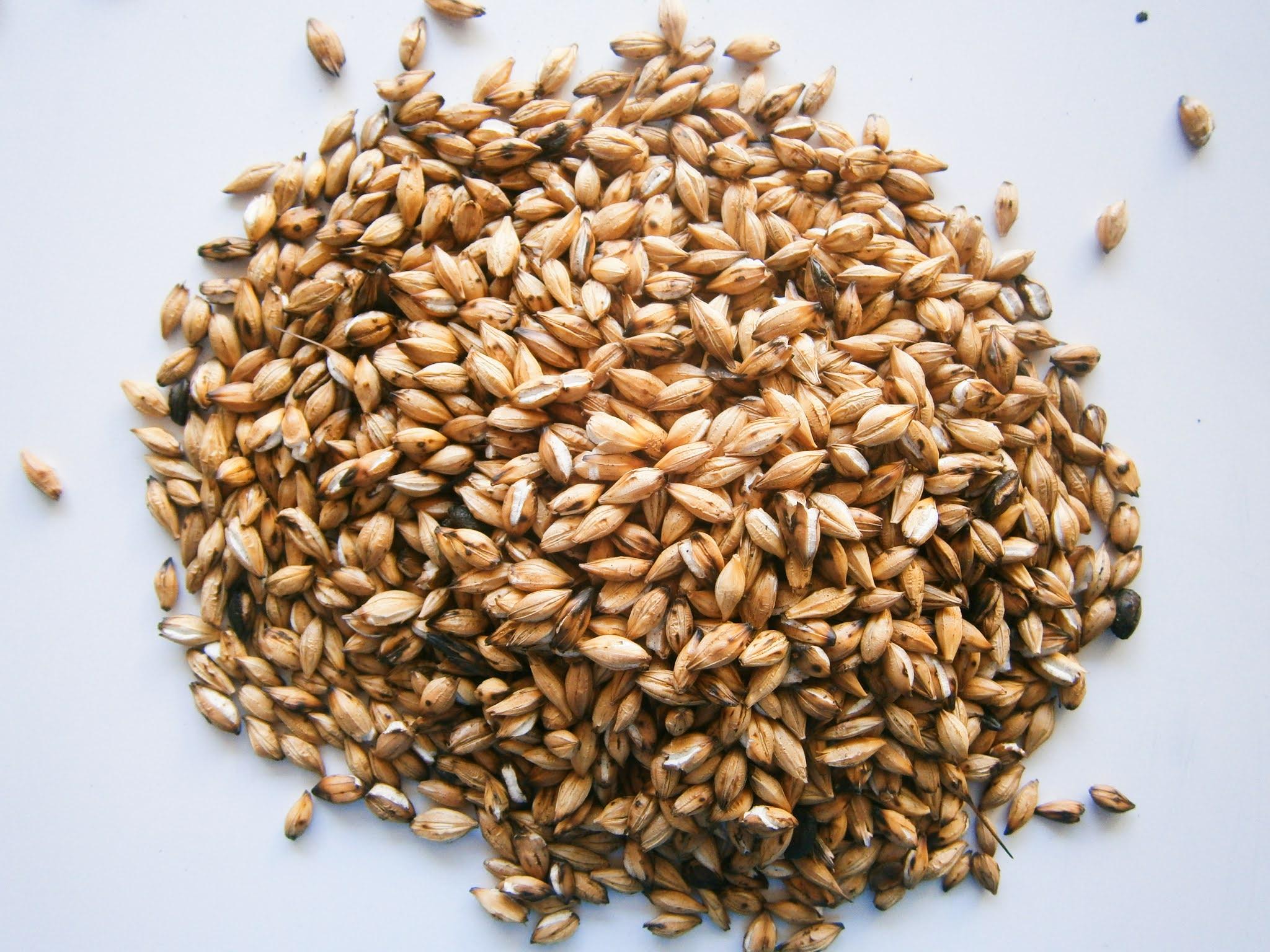 Semillas de cebada sin cocinar
