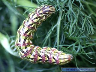Cucullia chamomillae - Cucullie de la Camomille