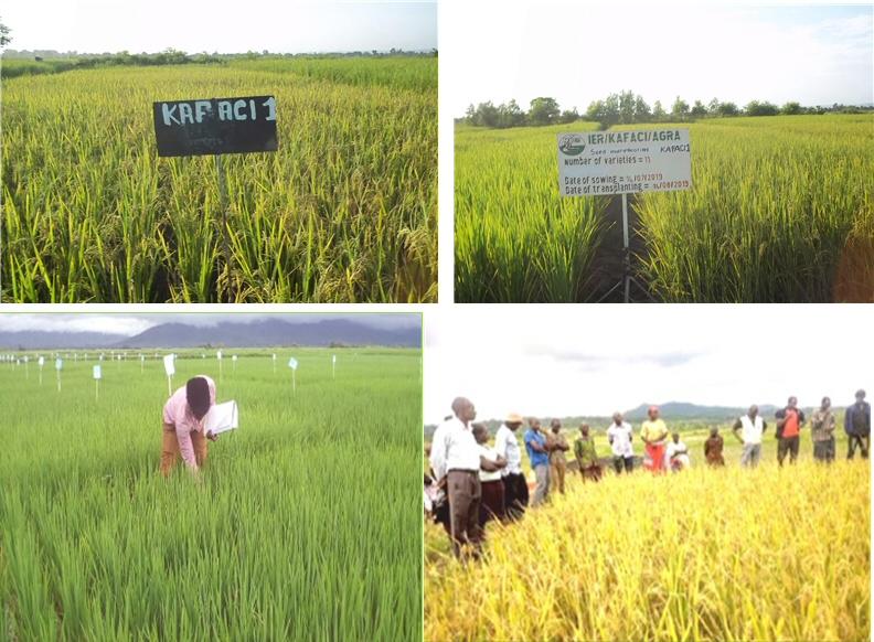 농촌진흥청, 한-아프리카 벼연구소 말라위와 말리 공동 개발