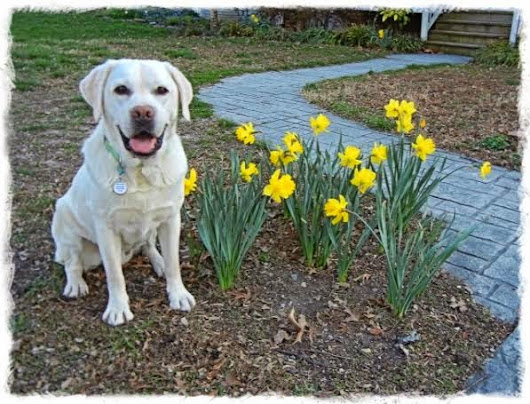 A Lab in Springtime