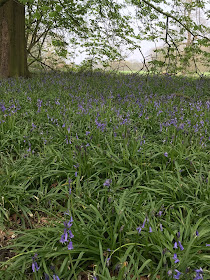 Woodland cover in bluebells