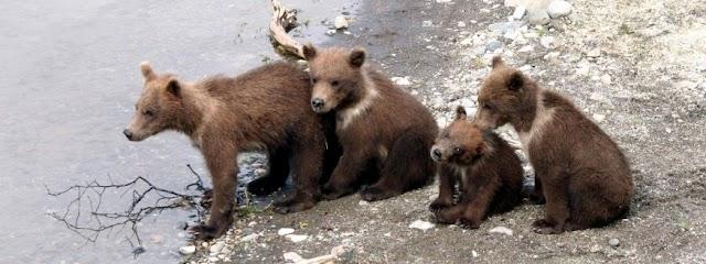 Brooks lodge bear viewing