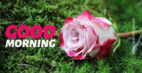 Good morning flower rose