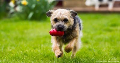 Características Border Terrier