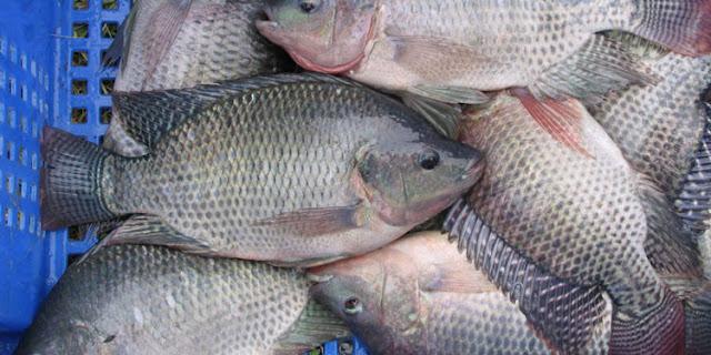 Supplier Jual Ikan Nila Bibit dan Konsumsi di Palangkaraya, Kalimantan Tengah