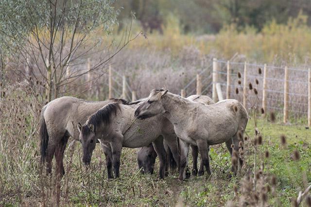 Ponies Gathering