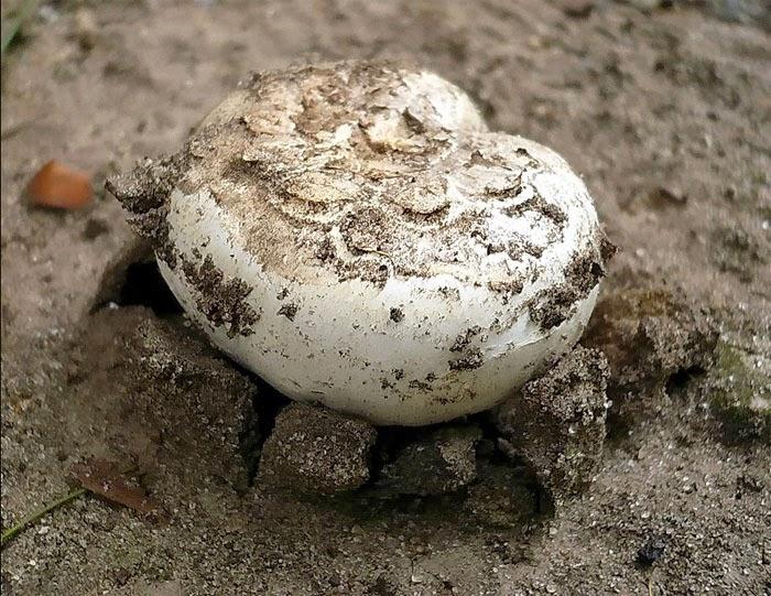 champignons selber anbauen zus tze zum stalldung als champignonsubstrat. Black Bedroom Furniture Sets. Home Design Ideas